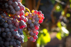 Wine grapes grown in Napa and Sonoma Valleys, California, USA